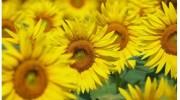 Mengintip Kisah Unik dan Romantis di Balik Asal Usul Legenda Bunga Matahari