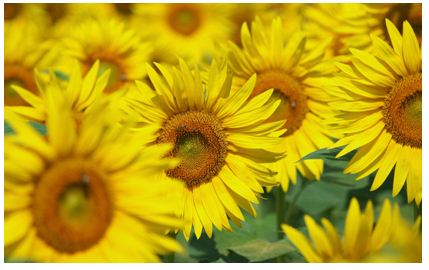 bunga matahari Mengintip Kisah Unik dan Romantis di Balik Asal Usul Legenda Bunga Matahari