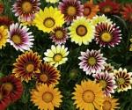 Bunga Gazania