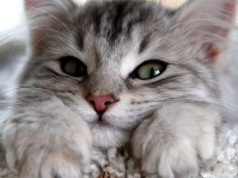 imlek, shio kucing, ramalan shio