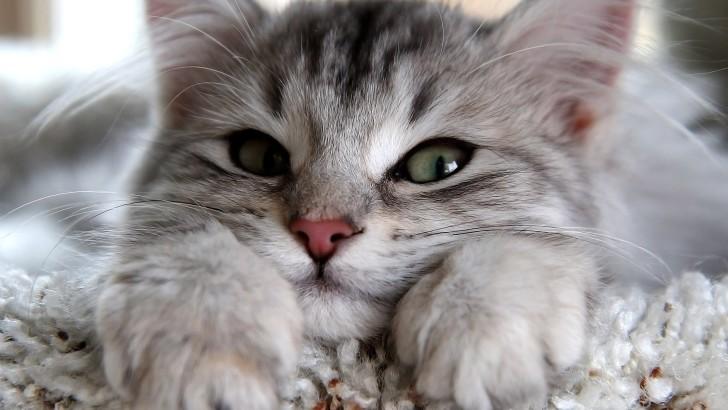 Mengejutkan! Terungkap Alasan Mengapa Tak Ada Shio Kucing