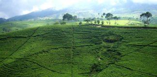 kebun teh kemuning, wisata alam, karanganyar jawa tengah