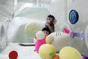 monyet hasil kloning di Cina
