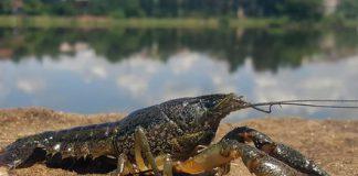 Crayfish atau udang karang yang bisa bermutasi sendiri