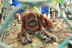 populasi orangutan