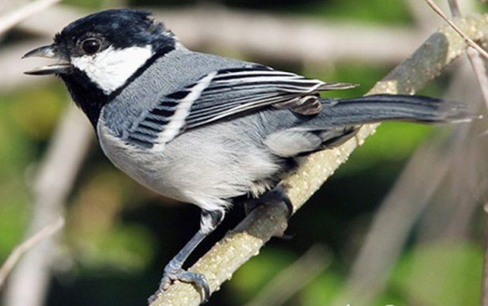 Burung parus minor bersuara ketika melihat predator